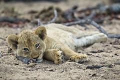 A lone lion cub lying in the dirt, looking at camera Stock Photos