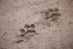 A pair of lion paw prints, close-up Stock Photos