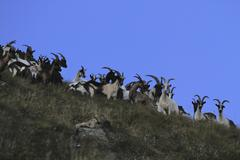 Mountain goats on Monte Rosa, Piedmont, Italy Stock Photos