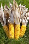 A group of corn on the cobs with husks Stock Photos
