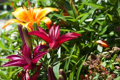 High Res Photo - Orange and Red Tiger Lillys in garden Stock Photos