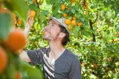 A man picking an apricot off an apricot tree - stock photo