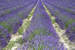 Cultivated lavender growing in a field Stock Photos