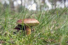 Edible Mushroom, Bay Bolete (Boletus badius) Stock Photos