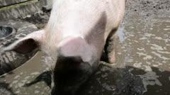 Pig in mud Stock Footage