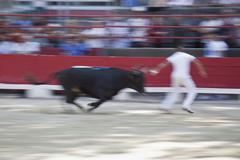 A bull chasing a man in an arena Stock Photos