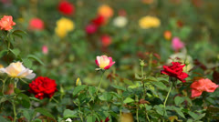Rose garden in the wind Stock Footage