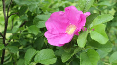 Rosa rugosa Stock Footage