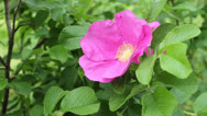 Stock Video Footage of rosa rugosa