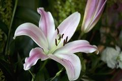 Flower blooming, Easter Lily (Lilium Longiflorum) Stock Photos