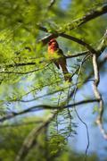 North Carolina's sate bird, the Red Cardinal (Cardinalis cardinalis) Stock Photos
