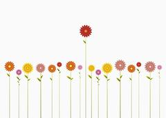A row of various colored Gerbera Daisies and one towering above them Stock Photos
