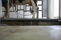 Cow attached to milking machine in cowshed Stock Photos