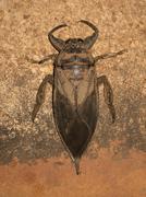 A toe-biter beetle (Belostomatidae), Broome, Western Australia, Australia Stock Photos
