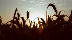 colored sunrise at wheat field - stock footage