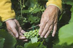 A senior man holding a bunch of grapes growing on a vine, close-up of hands - stock photo