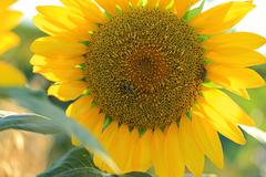 Sunflower with bee collecting nectar Stock Photos