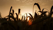 Stock Video Footage of sunrise at wheat field