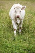 Stock Photo of beautiful white cow