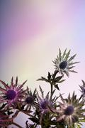 Thistle flowers against a pastel background Stock Photos