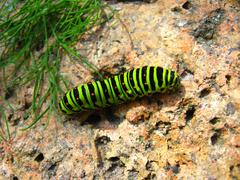 caterpillar of the butterfly machaon on the stone - stock photo
