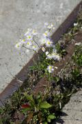 Annual Fleabane growing on the side of a cement sidewalk Stock Photos