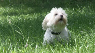Stock Video Footage of Funny small white dog barking
