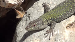 Lizard on rock close up Stock Footage