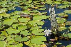 lilly pond - stock photo