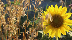 Sunflower 9 - stock footage