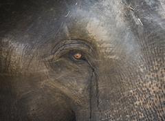 Close-up of Indian elephant - stock photo