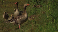 A family of geese goslings eating Stock Footage