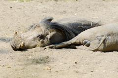 Warthogs resting Stock Photos