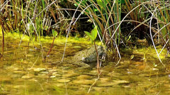SM 100fps Frog mating croaking in garden lake pond Stock Footage