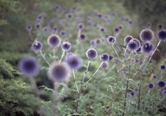 Purple wild flowers in field Stock Photos