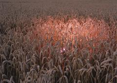 Corn field with glowing pink light Stock Photos