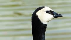 Goose bird feeding on grassland Stock Footage