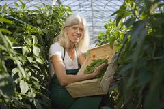Woman picking green bell peppers in greenhouse Stock Photos