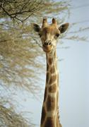 High section of giraffe eating branch, Etosha National Park, Namibia Stock Photos