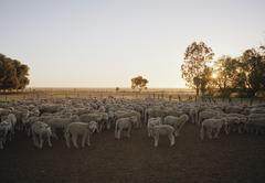 Flock of sheep in farmyard Kuvituskuvat
