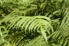 Lush foliage of ferns Stock Photos