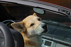 the dog in the open car. - stock photo