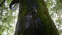 Rainwater running down a mossy beech tree trunk Stock Footage