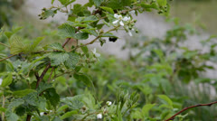 Honey bee under a bramble leaf Stock Footage