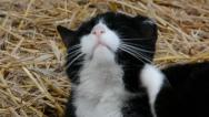 Stock Video Footage of Cat washing itself in straw close-up