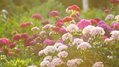 Beautiful flowers in the garden in the morning sunshine Stock Footage