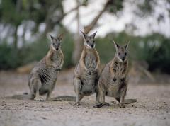 Three wallabies standing side by side Stock Photos