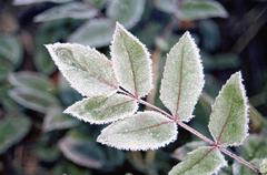 Leaves of a rose bush covered in frost Stock Photos