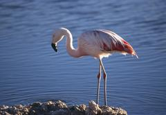 Chilean Flamingo (Phoenicopterus chilensis) standing in water and looking for Stock Photos