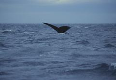 Southern Right Whale (Eubaleana Australis) diving into the sea, Valdes Stock Photos